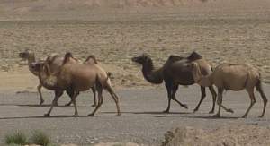 The Bactrian camels – they seem to have stepped straight out of a Dr Seuss book.